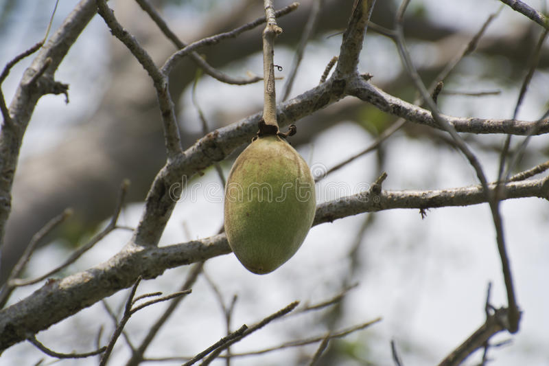 Fruit de baobab accrochant sur l'arbre image stock