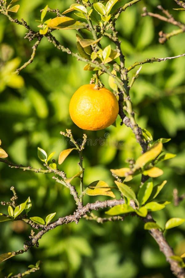 Fruit de bergamote image stock