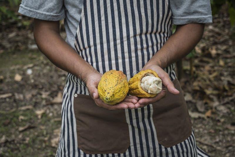 Fruit de cacao, cosse fra?che de cacao dans des mains photographie stock libre de droits