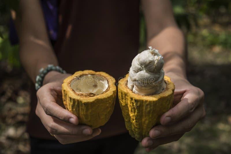 Fruit de cacao, cosse fra?che de cacao dans des mains photo stock