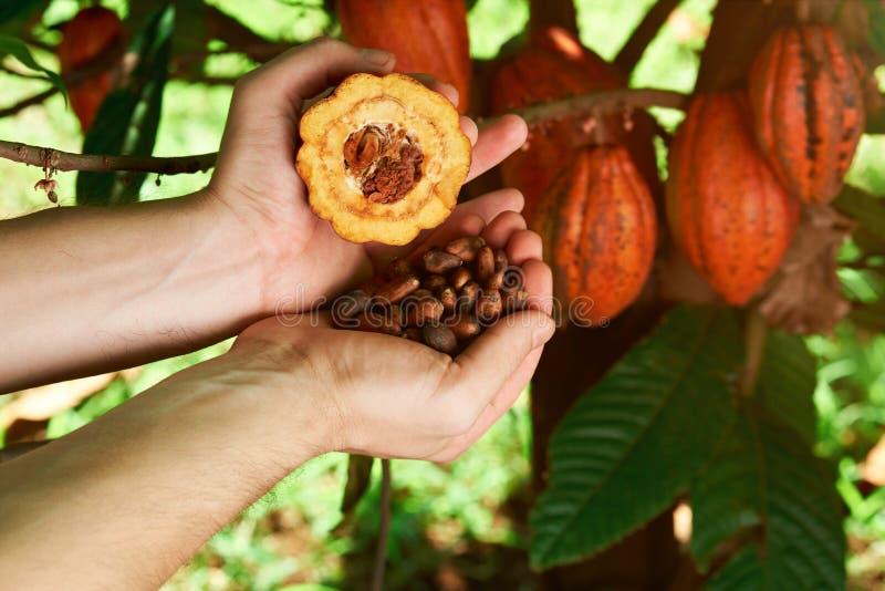 Fruit de cacao dans des mains d'agriculteur photo stock