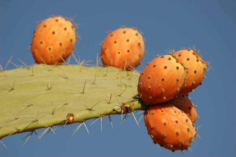 Fruit de cactus photo libre de droits