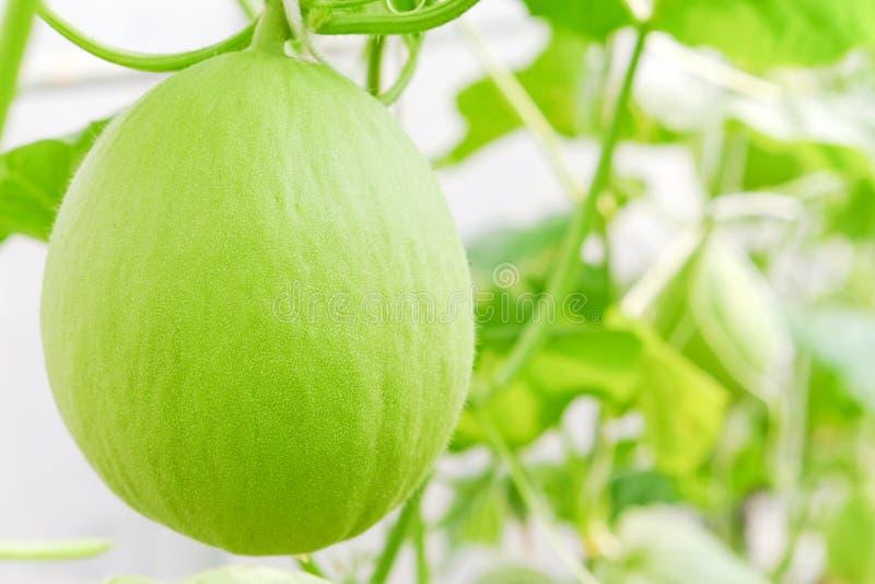 Fruit de cantaloup images stock