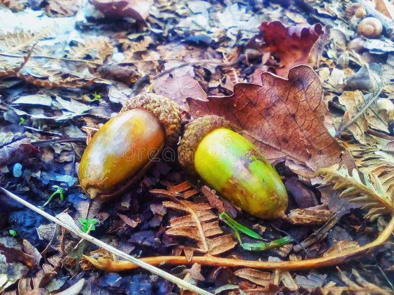 Fruit de chêne photo stock