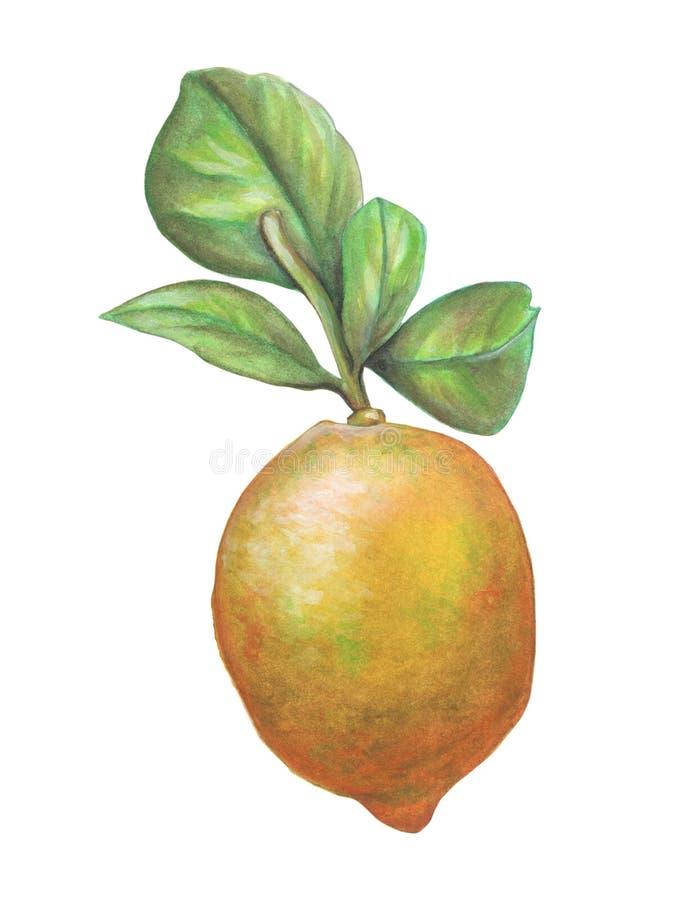 Fruit de citron et quelques feuilles photos libres de droits