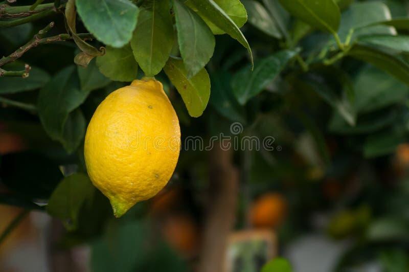 fruit de citron sur le citronnier dans la maison verte photo stock
