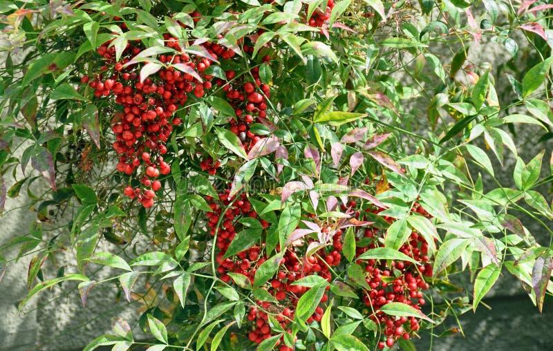 Fruit de domestica sacré de bambou ou de Nandina images stock