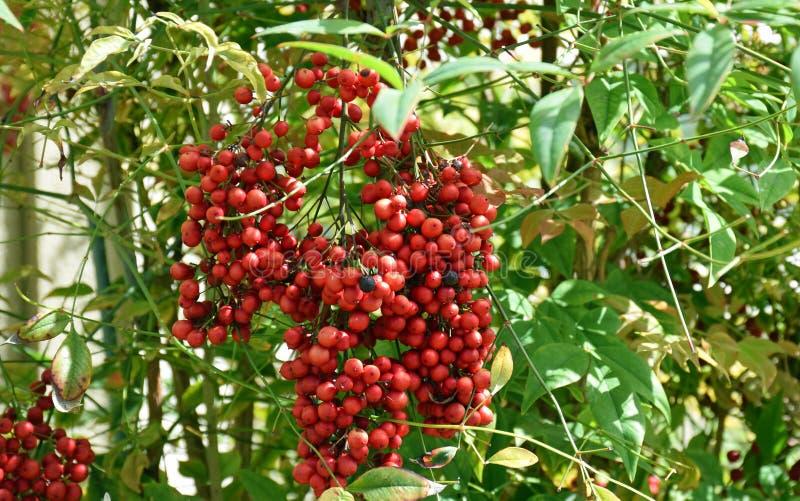 Fruit de domestica sacré de bambou ou de Nandina photos stock