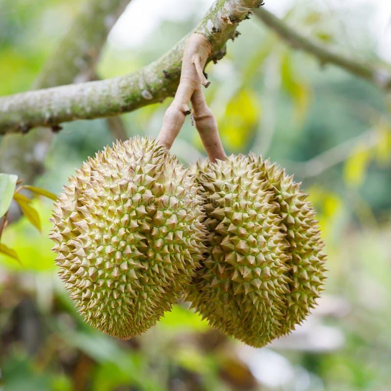 Fruit de durian sur l'arbre photo stock