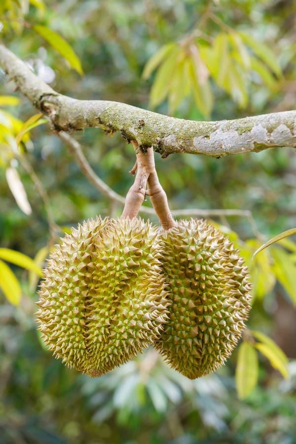 Fruit de durian sur l'arbre photos stock