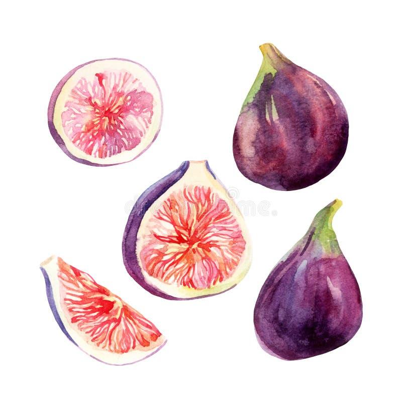 Fruit de figue d'aquarelle réglé sur le fond blanc illustration de vecteur