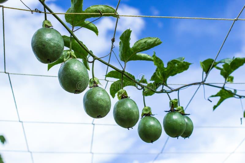 Download Fruit De Foetida De Passiflore Image stock - Image du nourriture, santé: 45368057