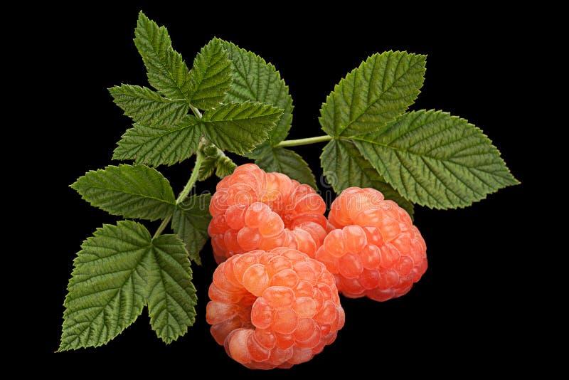 Fruit de framboise de Rose sur le noir images stock