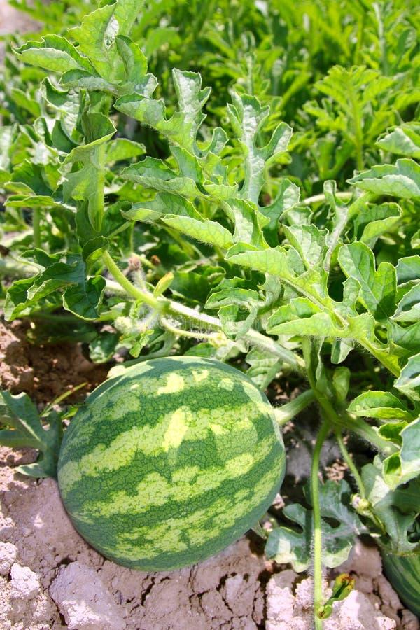 fruit de gisement de pastèque d'agriculture grand   image libre de droits