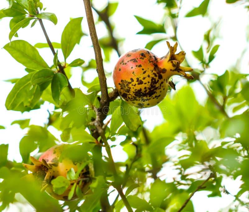 Fruit de grenade sur une branche d'arbre photos stock