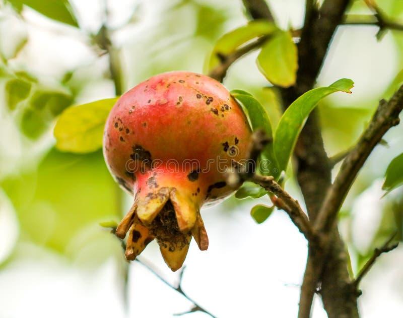 Fruit de grenade sur une branche d'arbre photographie stock