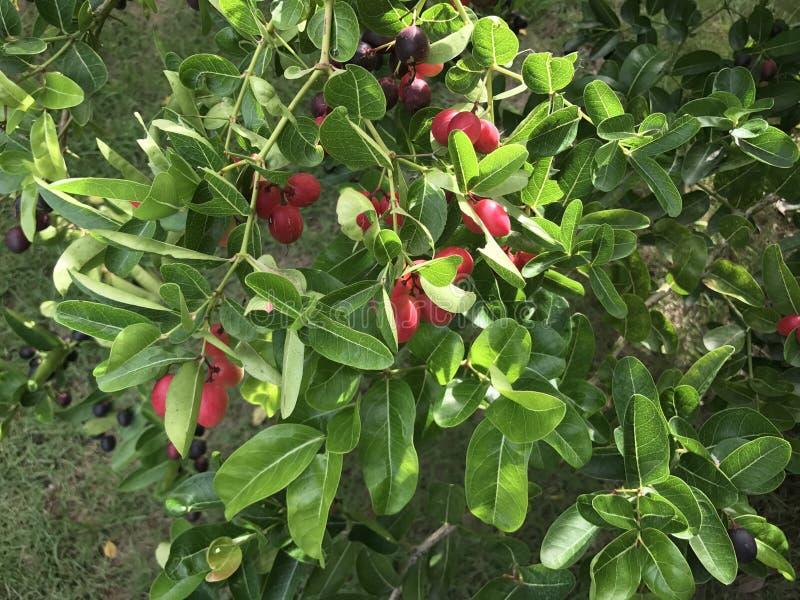 Fruit de groseille du Bengale image stock