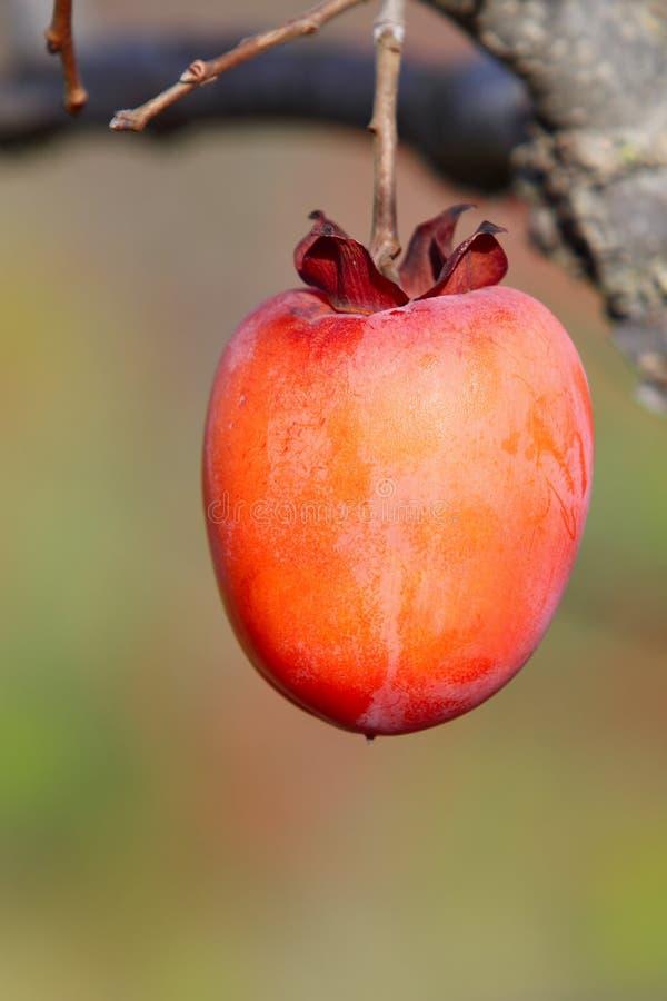 Fruit de kaki sur l'arbre photos libres de droits