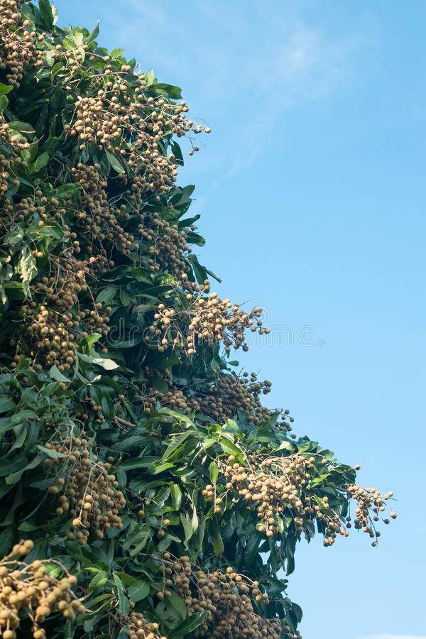 Fruit de Longan en Thaïlande du nord photographie stock
