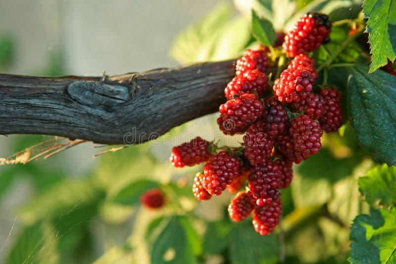 Fruit de mûre en nature photographie stock