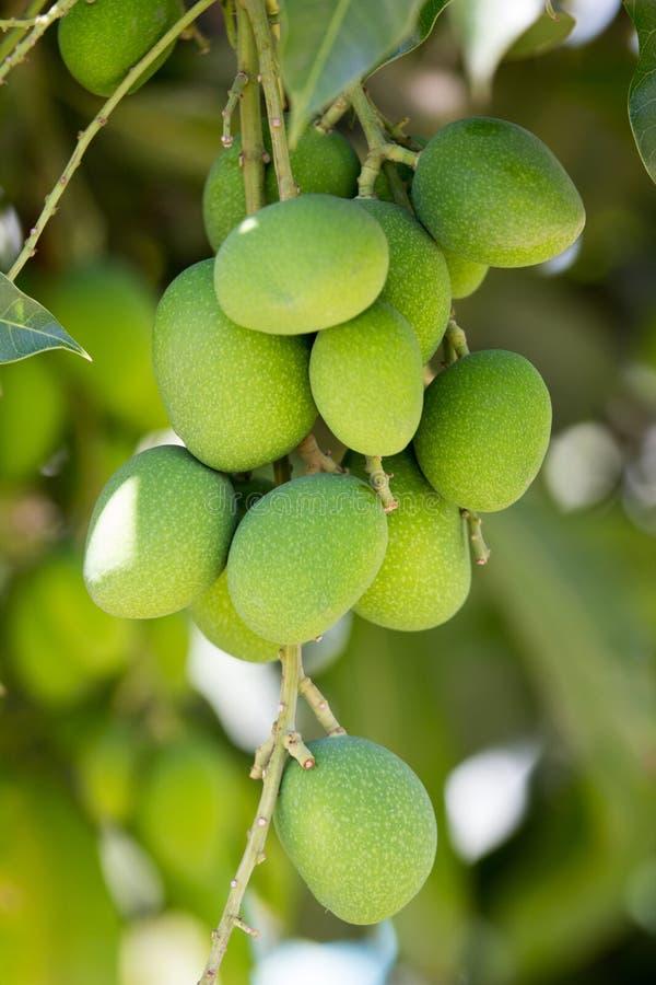 Fruit de mangue photo libre de droits