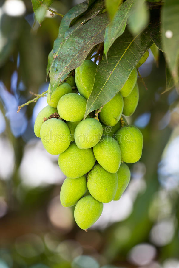 Fruit de mangue photo stock