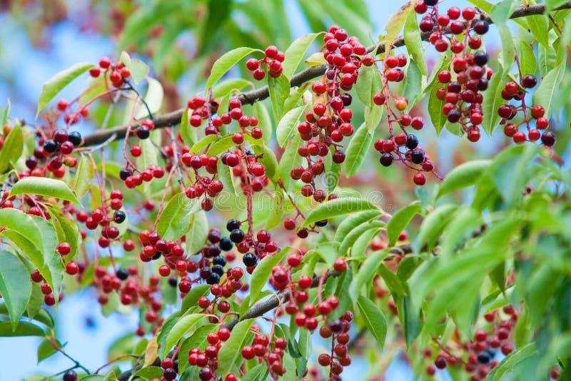 fruit de merisier sur l 39 arbre photo stock image du. Black Bedroom Furniture Sets. Home Design Ideas