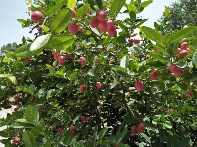 Fruit de miracle et x28 ; SYNSEPALUM DULCIFICUM et x29 ; photo libre de droits