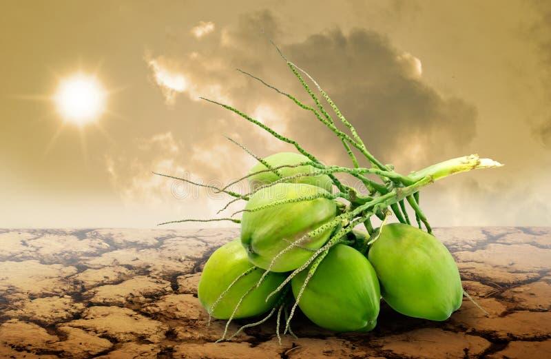 Fruit de noix de coco sur la terre sèche, concept de famine photo stock