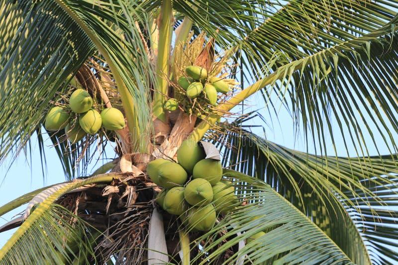 Fruit de noix de coco sur l'arbre de noix de coco dans le jardin Thaïlande photo stock