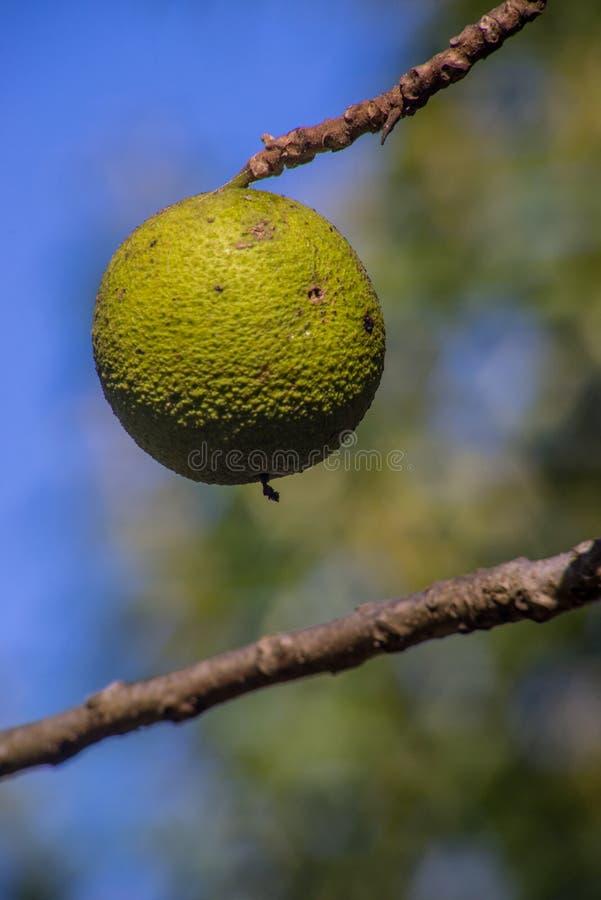 Fruit de noix sur l'arbre photos libres de droits