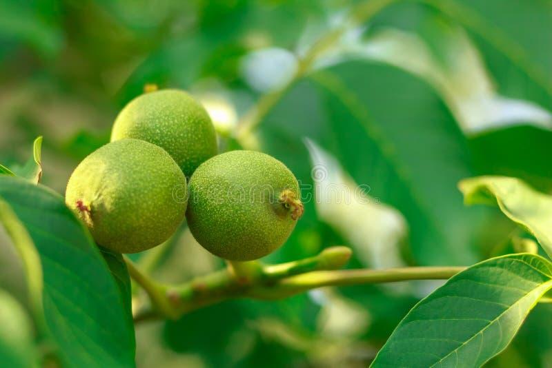 Fruit de noix sur l'arbre photos stock