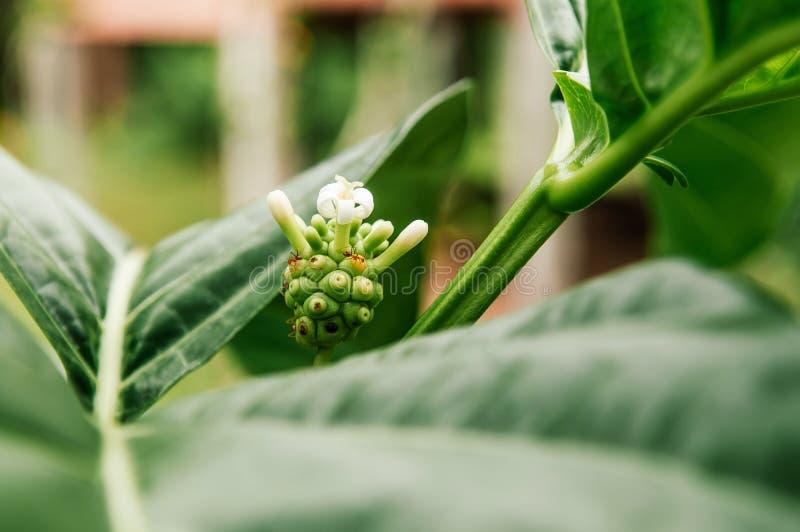 Fruit de Noni ou fruit de fromage sur sa branche verte dans le jardin, de fines herbes image libre de droits