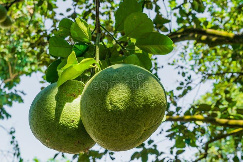 Fruit de pamplemousse photo stock