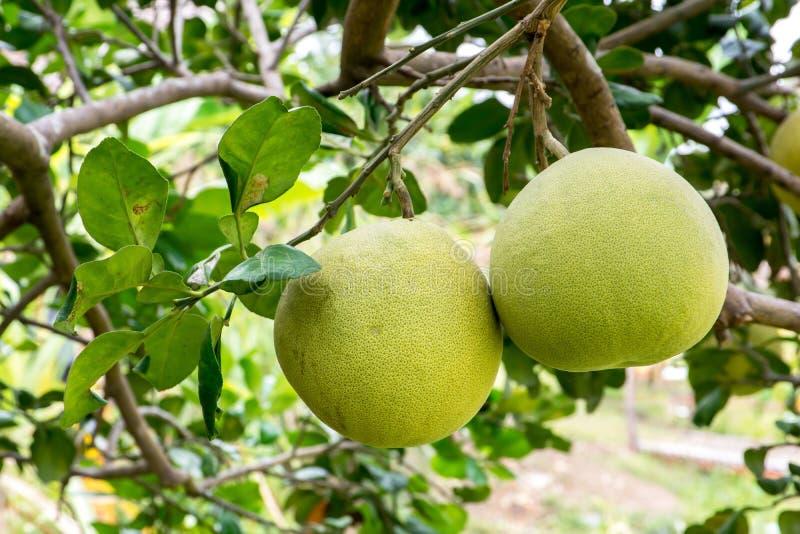 Fruit de pamplemousse accrochant sur l'arbre dans le jardin images stock