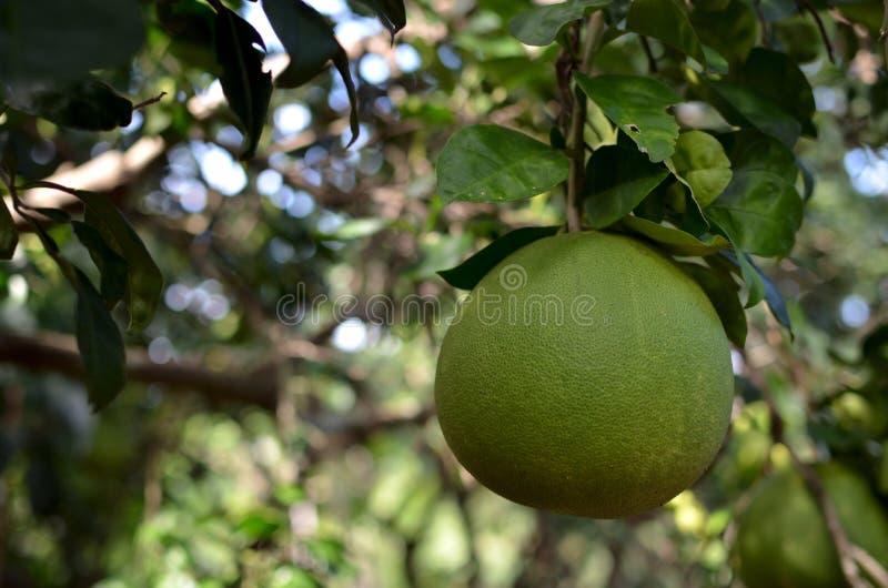 Fruit de pamplemousse, maximum Burm d'agrume merrill images libres de droits
