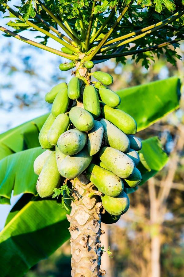 Fruit de papaye sur la tige photos stock