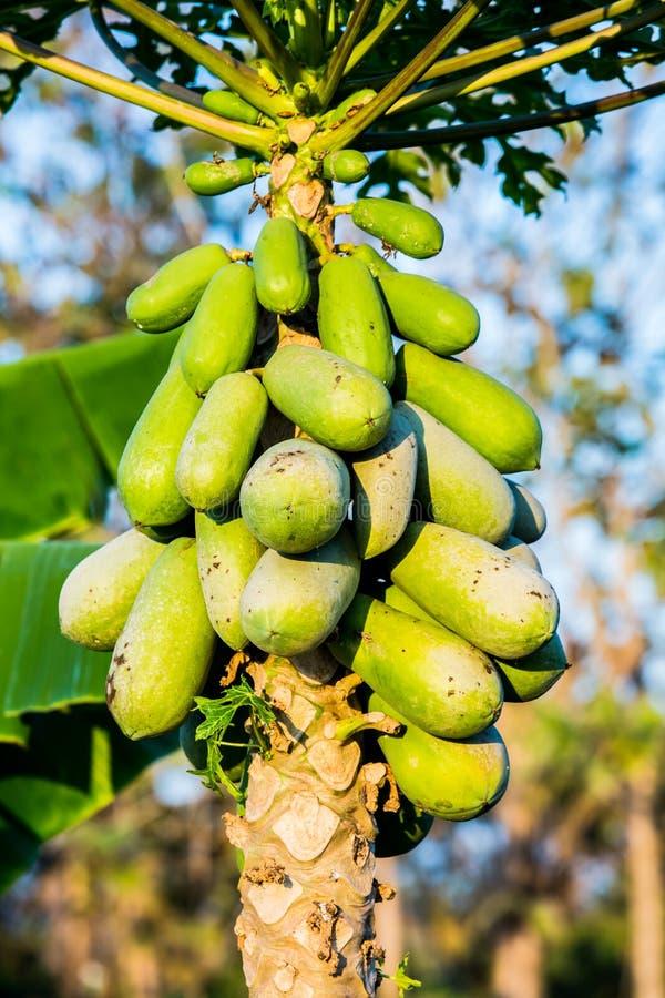 Fruit de papaye sur la tige photographie stock
