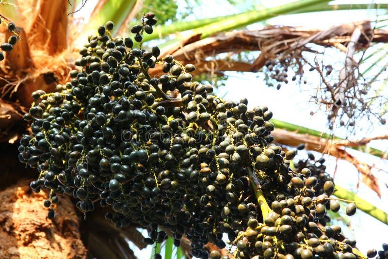 Fruit de paume dans la plantation de paume photos stock