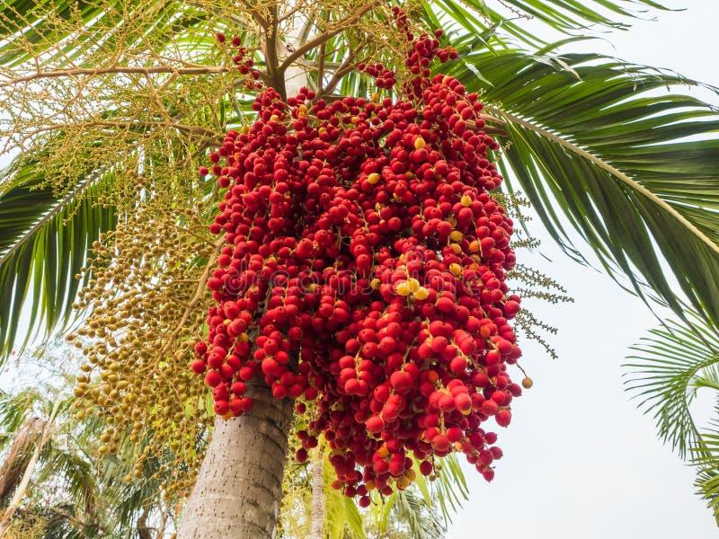 Fruit de paume de vulpin, noix de bétel rouge sur le palmier photos stock