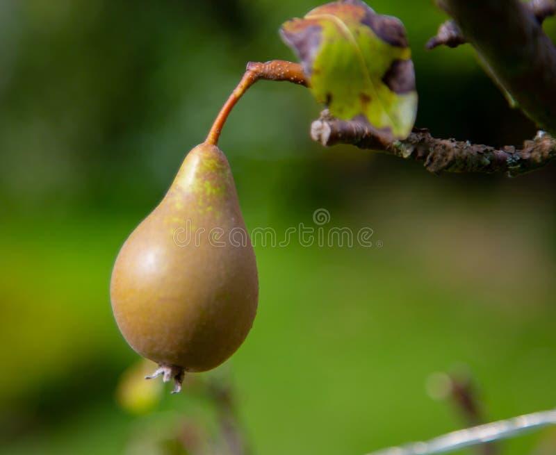 Fruit de poire accrochant sur l'arbre images libres de droits