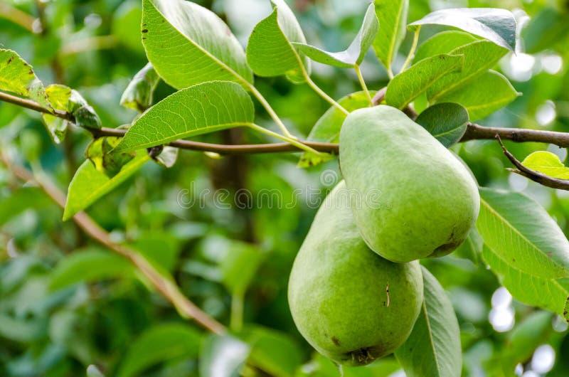 Fruit de poire sur l'arbre dans le jardin de fruit photographie stock libre de droits