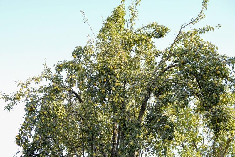 Fruit de poire sur les branches d'un arbre Poirier vieux image libre de droits