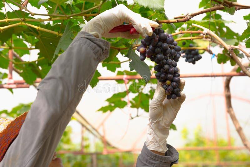 Fruit de raisin dans la ferme photo stock