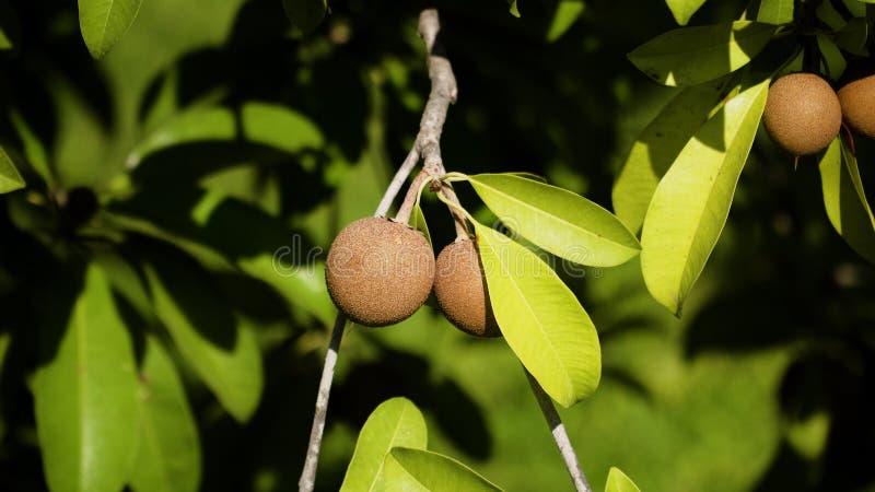 Fruit de sapotille sur l'arbre photo libre de droits