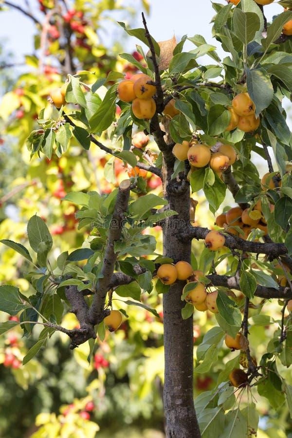 Fruit doux sur l 39 arbre cognassier du japon d 39 eriobotrya photo stock image 77931580 - Arbre du japon ...