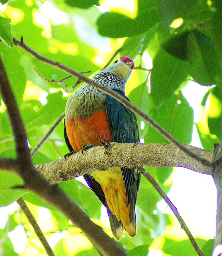 Fruit dove. These small- to medium-sized doves generally have short, fan-shaped tails and are remarkable for their colourful and often glossy plumage, as stock photo