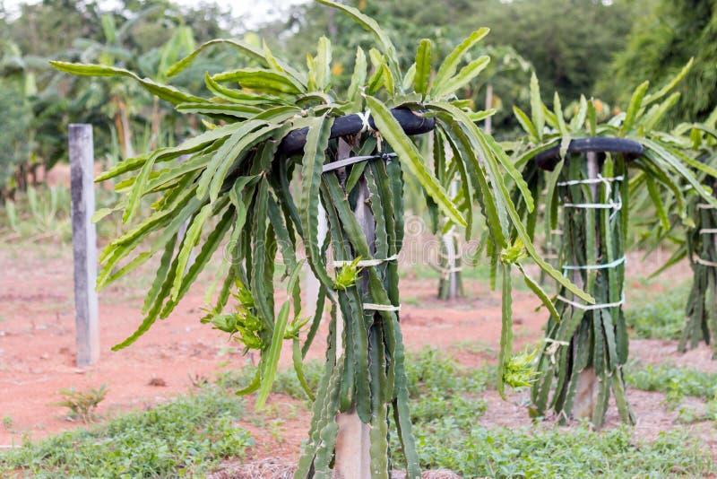 Fruit du dragon ou pitaya sur l 39 arbre dans le jardin photo stock image 74681440 - Arbre fruit du dragon ...