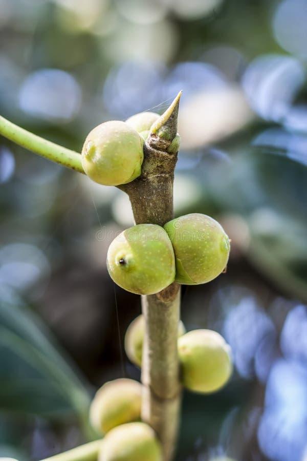 Fruit of Ficus benghalensis,The Indian Banyan tree. royalty free stock photos