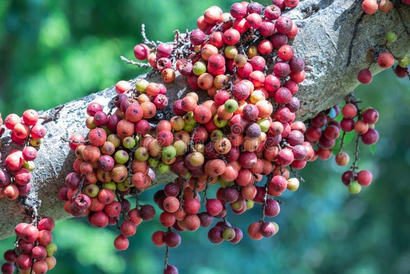 Indian Fig Fruit